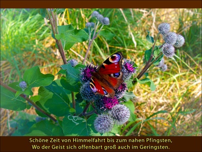Pfingsten-Schmetterling