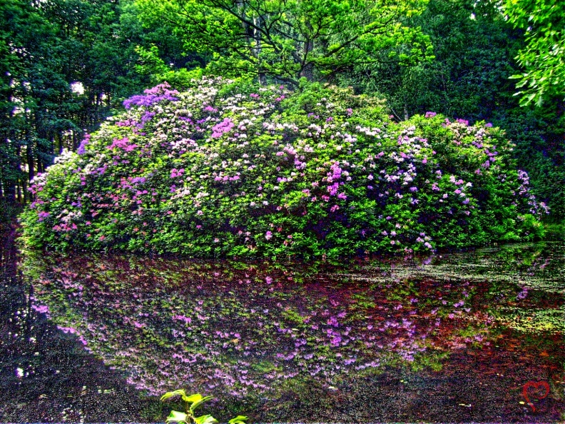 rhododendron-hdr.jpg