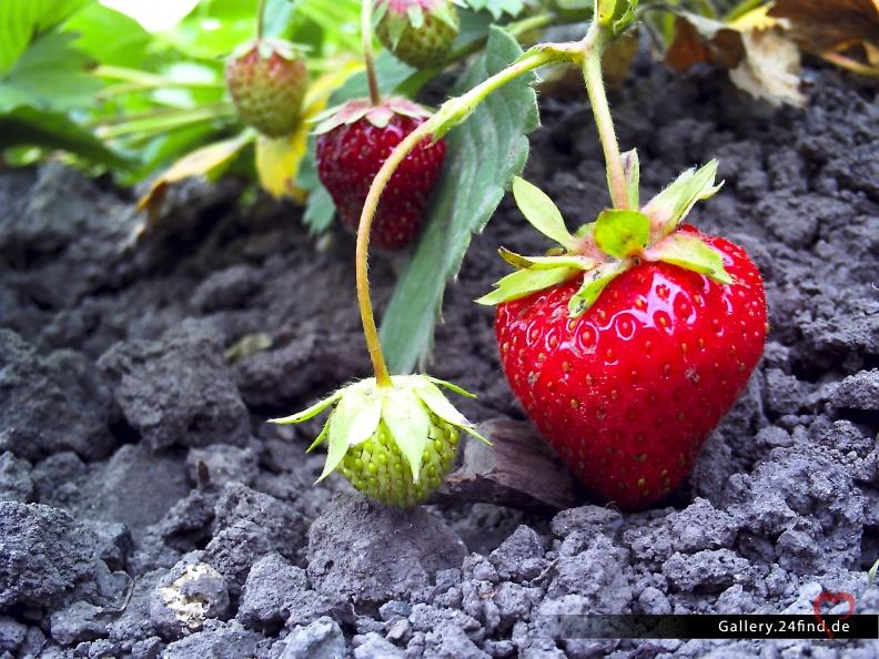 Erdbeere -- Pflanzen - Erdbeere im Album Pflanzen unter Landschaften