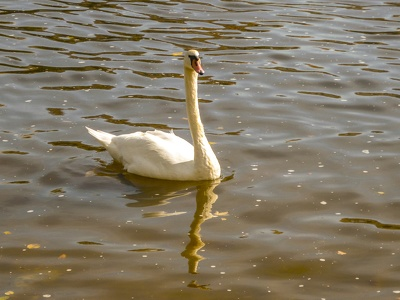 Schwan-in-Prag