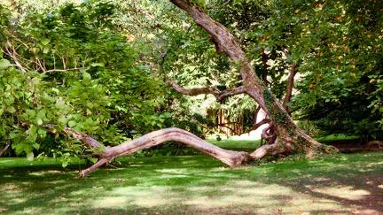 alter Baum -- Insel Mainau - alter Baum auf Insel Mainau in Baden Würtemberg