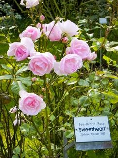 Sweetheart Tee-Hybrid Rose -- Mainau - Sweetheart Tee-Hybrid Rose auf Insel Mainau am Bodensee