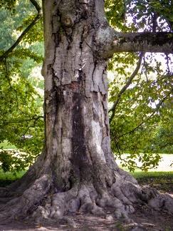 alter Baum -- Insel Mainau - Insel Mainau