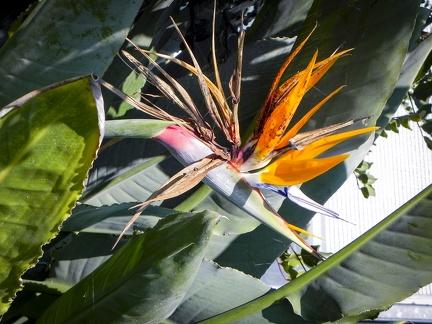 Papageienblume -- Insel Mainau - Papageienblume auf Insel Mainau