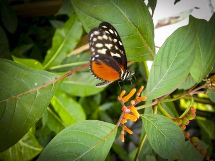 Schmetterling an der Blüte -- Insel Mainau - Schmetterlingan der Blüte auf Insel Mainau am Bodensee